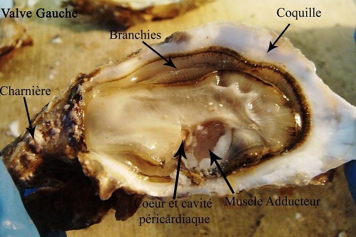 Physiologie d une hu tre les hu tres perli res for Interieur huitre